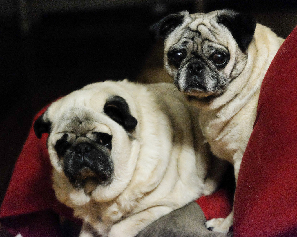 Two-cute-pugs