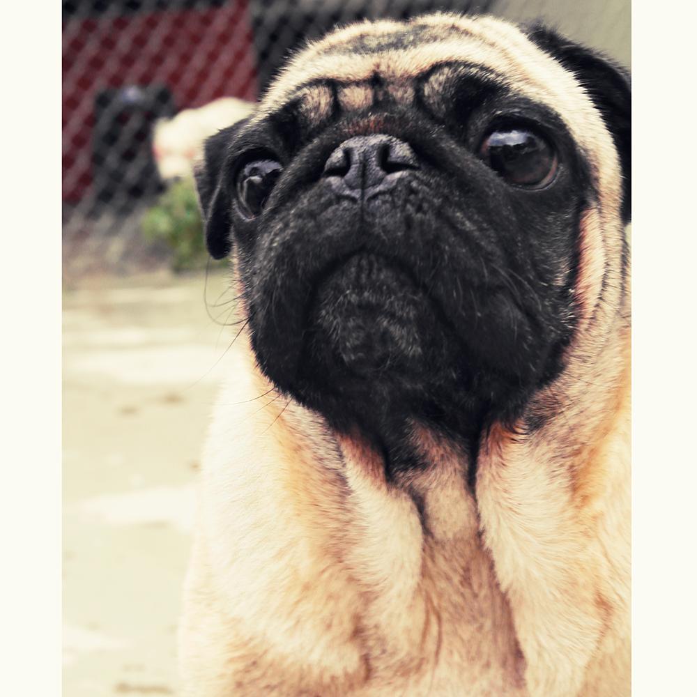 attentive-pug