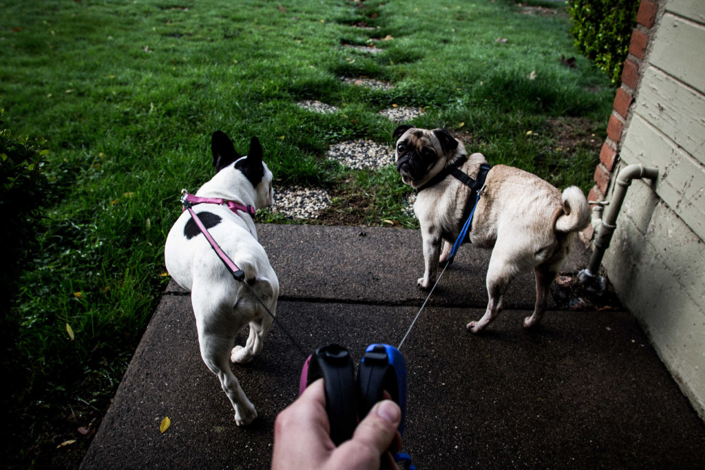 cute-pug-going-for-a-walk-with-friends