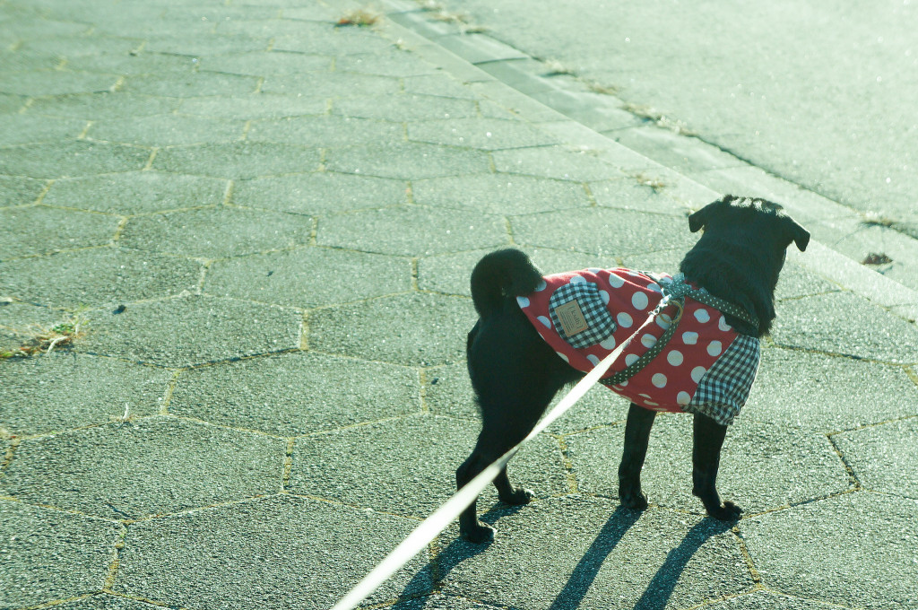 cute-pug-out-for-a-walk