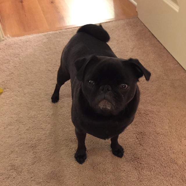 grumpy-pug