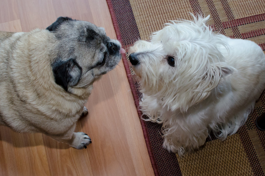 sharing-some-pug-love