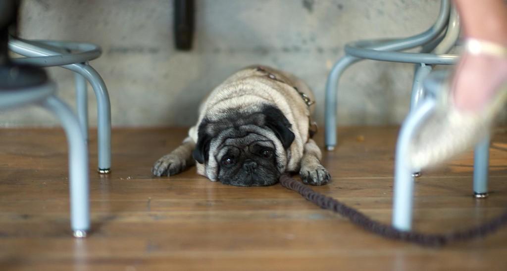 sleepy-pug-on-wood-floor