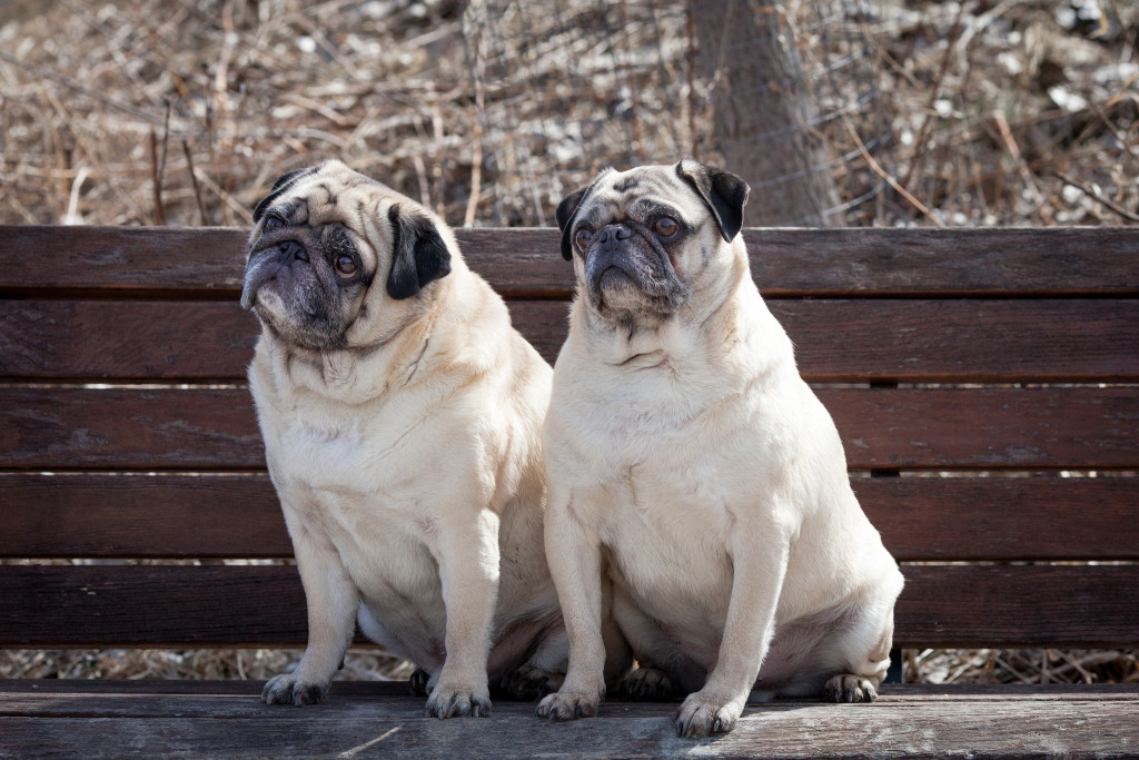 two-pugs-on-a-park-bench