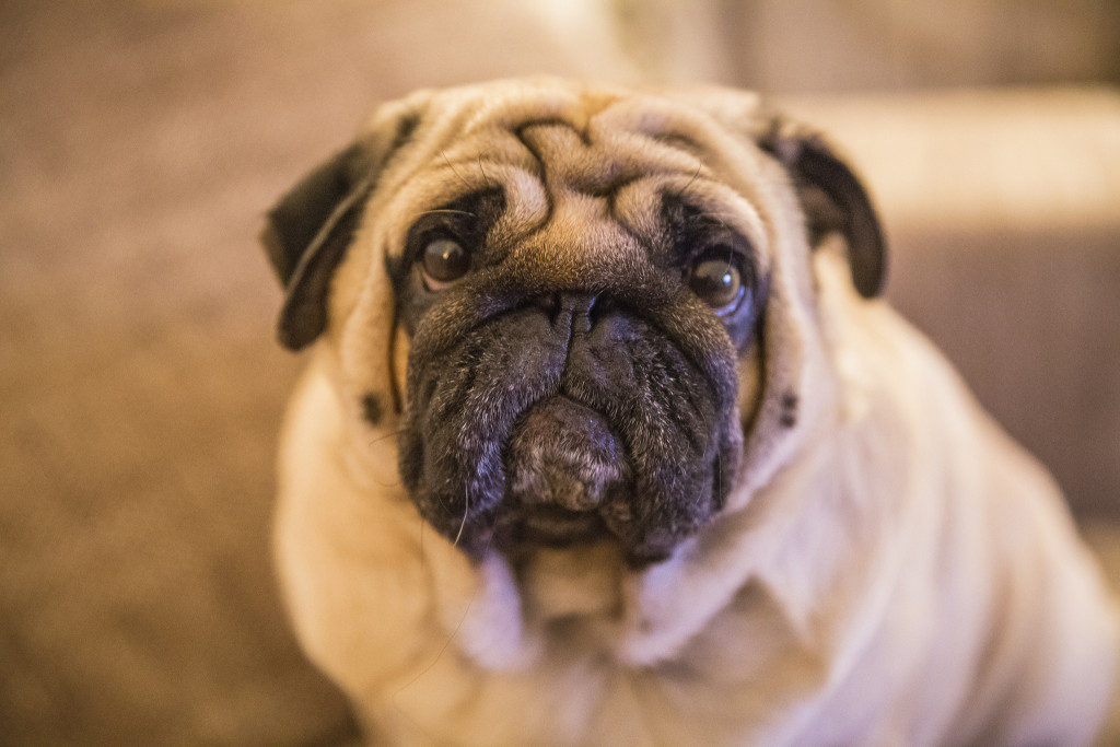 wrinkly-pug-face