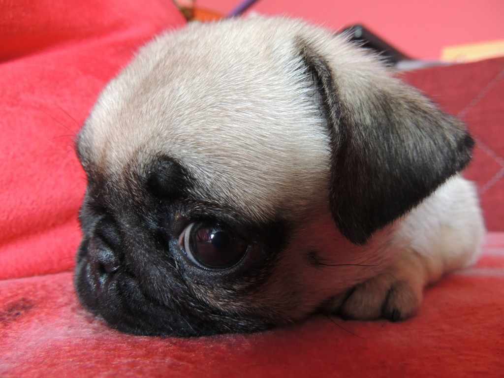Adorable-pug-puppy-on-red-blanket