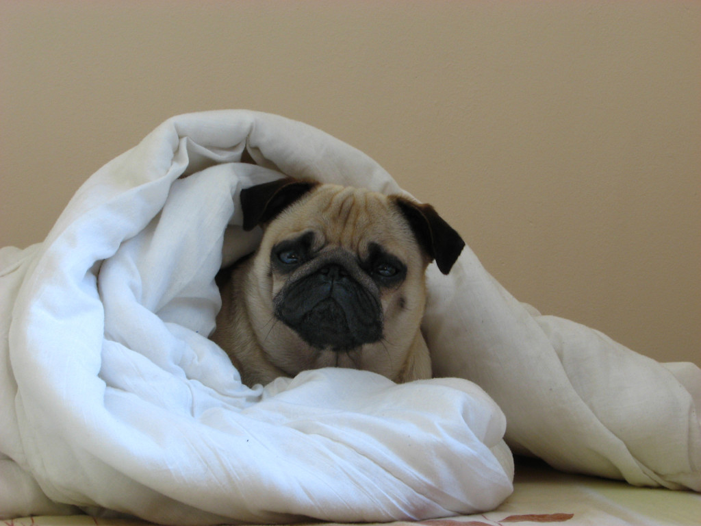 Cute cozy pug in a blanket