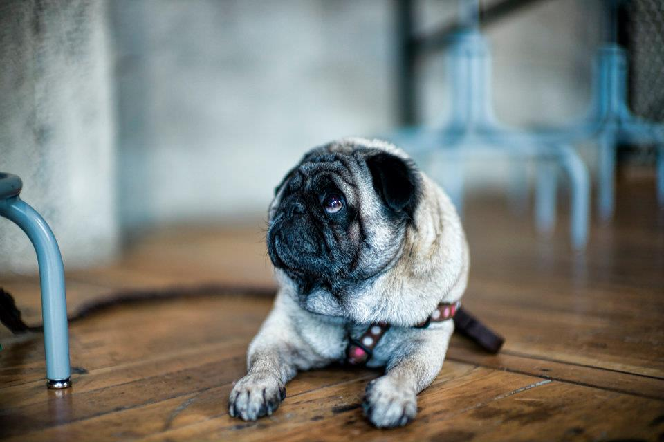 Cute-pug-staring