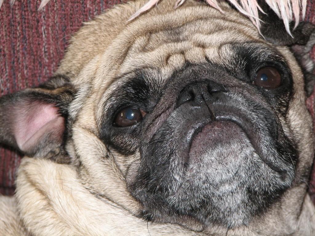Grumpy-wrinkly-pug-face