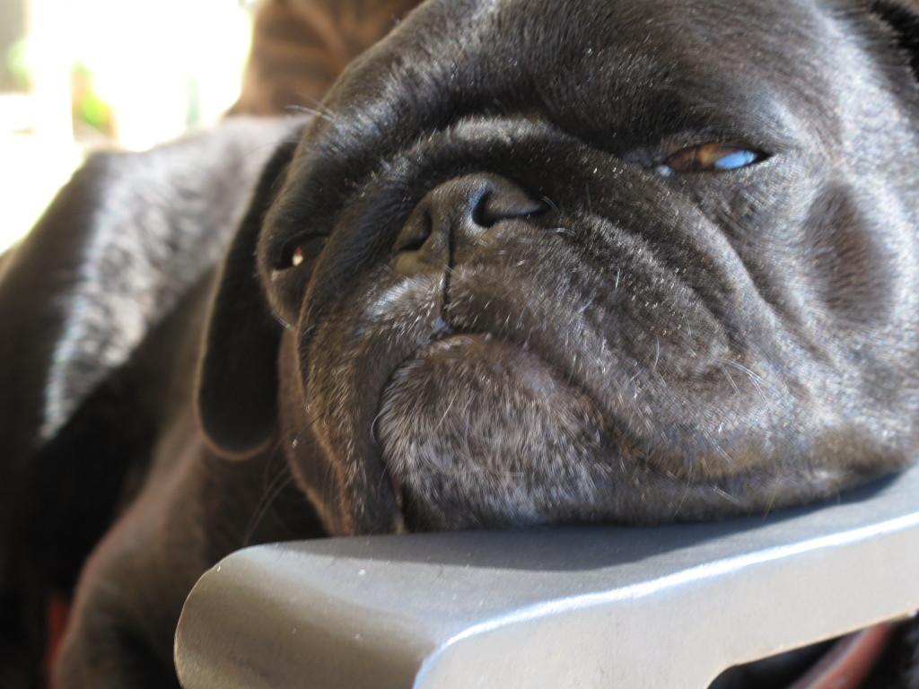 Pug-resting-on-armrest