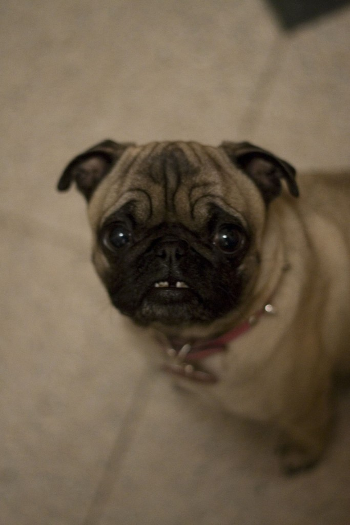 Pug-waiting-for-the-tooth-fairy
