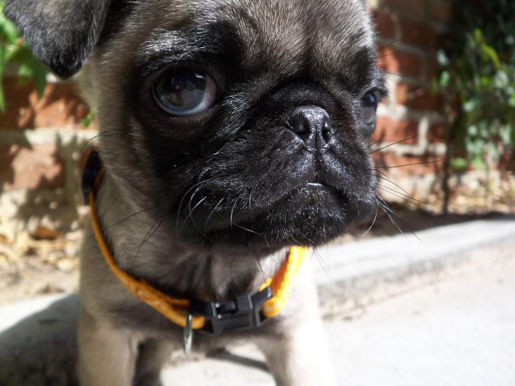 Pugs-eye-view