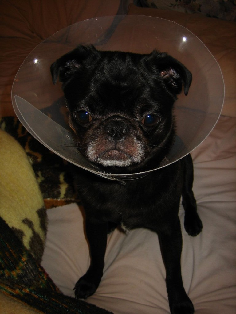 contemplative-cone-of-shame-pug