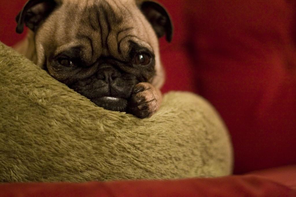 cute-comfy-pug