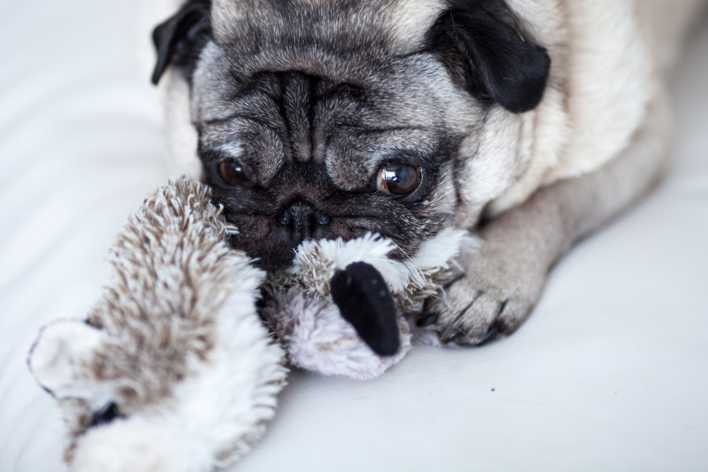 cute-pug-chewing-toy
