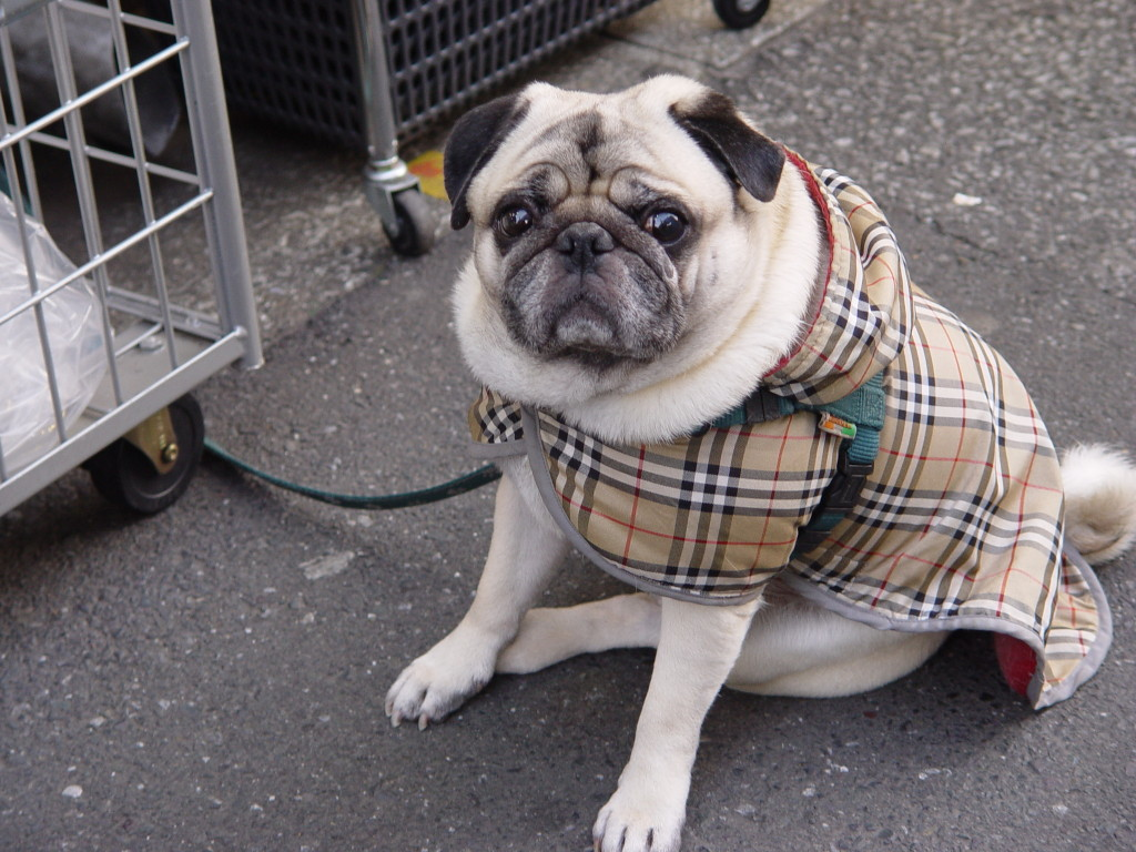cute-pug-in-a-fancy-coat