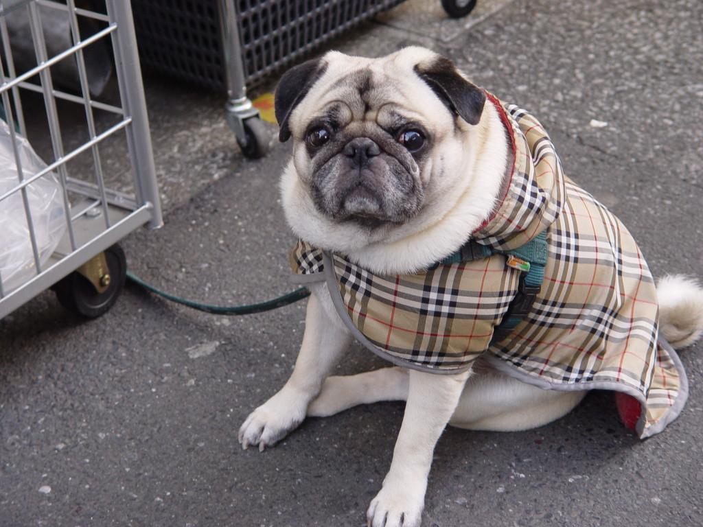 cute-pug-in-a-fancy-coat