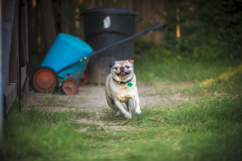 cute-pug-on-the-run
