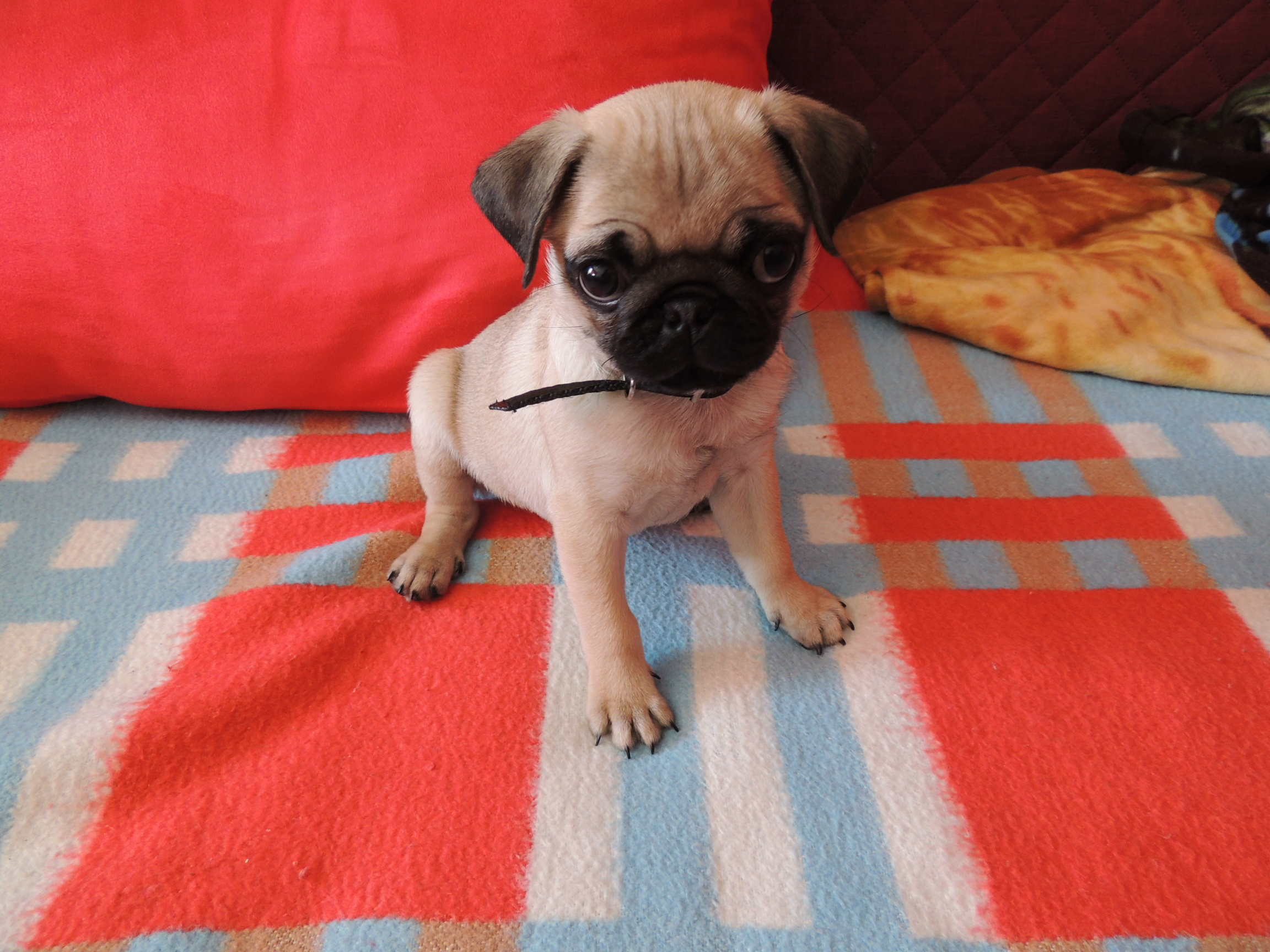 a super cute pug puppy on a bed. - about pug