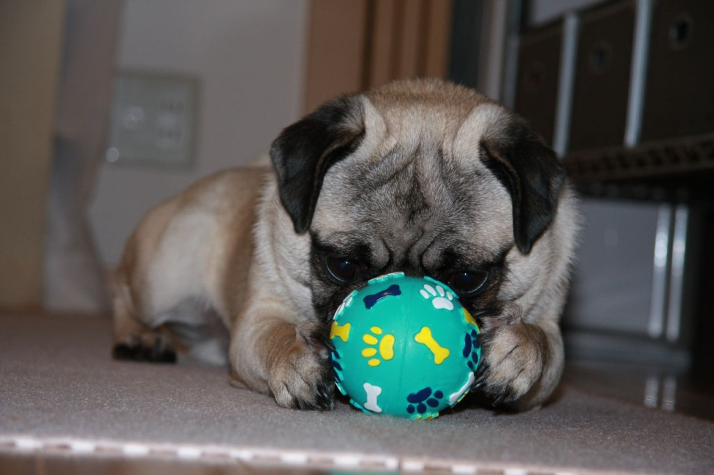 pug-focused-on-ball-toy