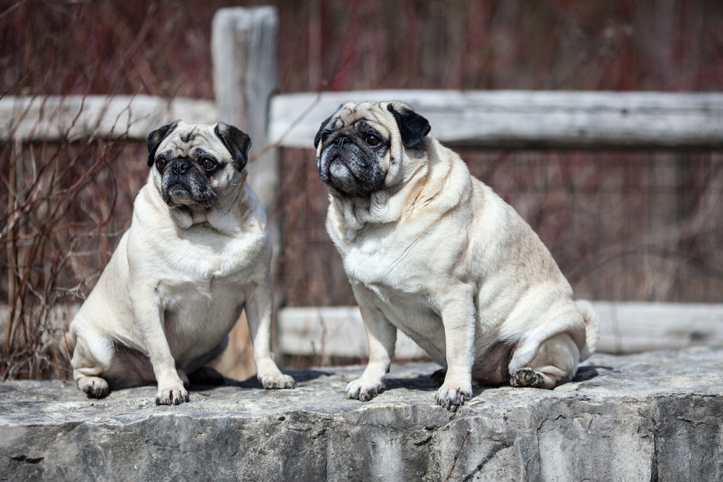 pugs-rock