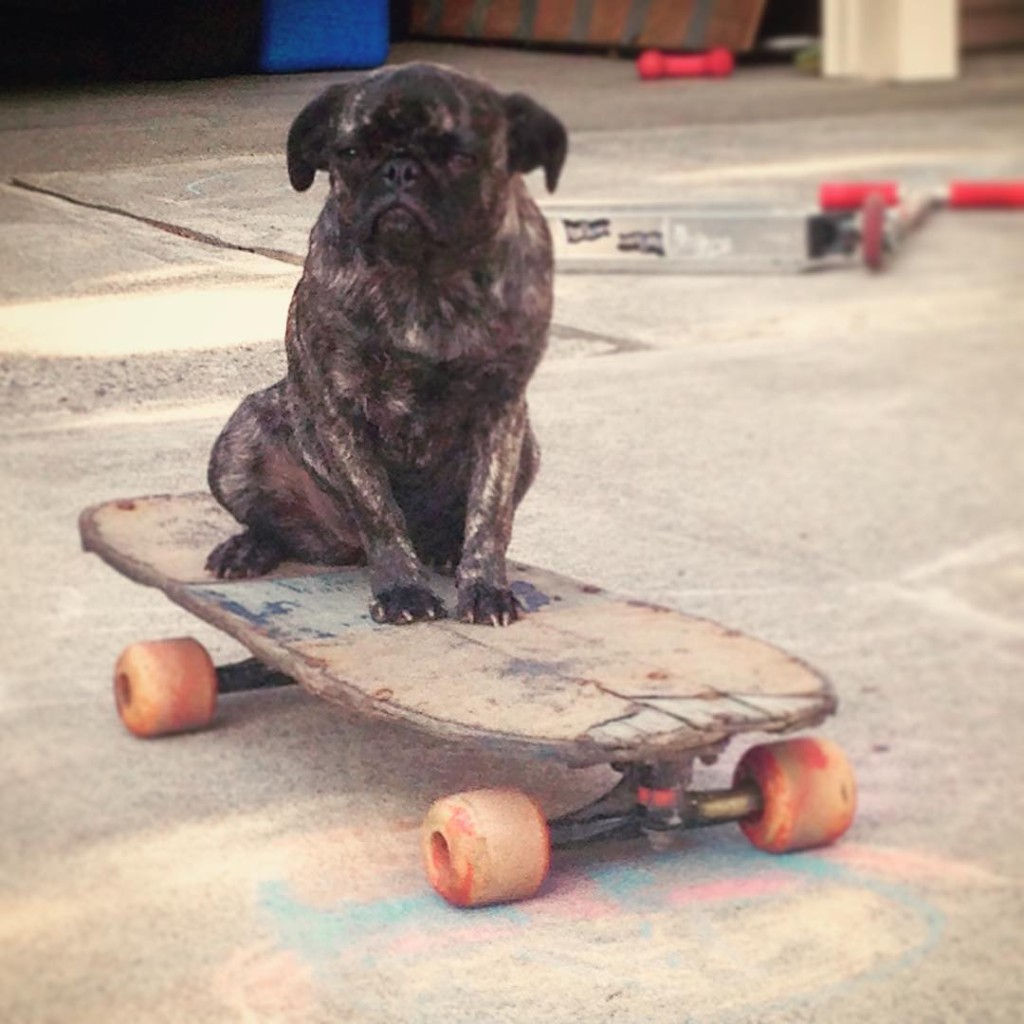Cute-pug-ready-to-roll