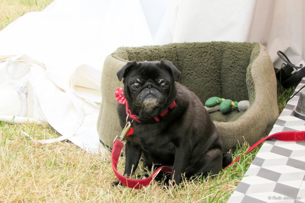 Cute pug relaxing in the grass