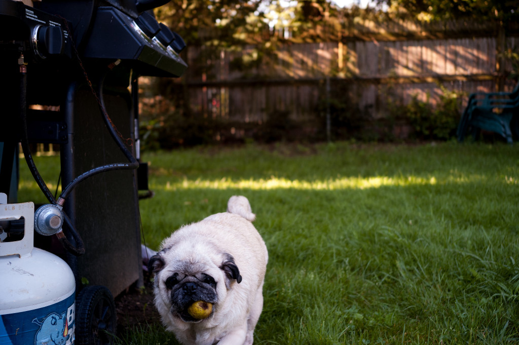 Successful-yard-foraging-pug