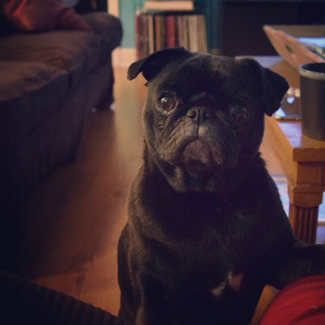 Trying-to-get-your-attention-pug