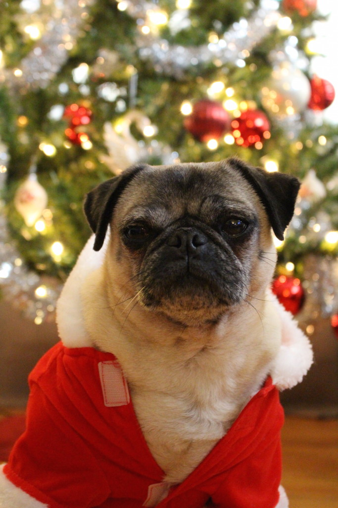 Nickie the cute christmas pug 1