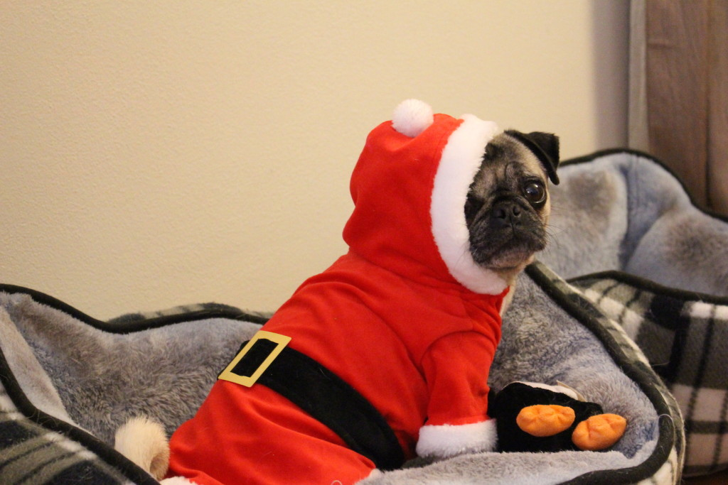 Nickie the cute christmas pug 2
