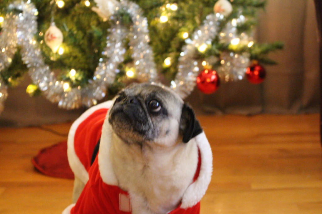 Nickie the cute christmas pug 3