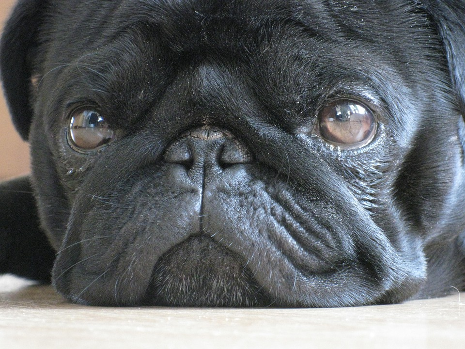 Attentive cute black pug face