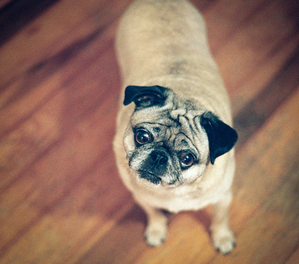 Cute pug begging