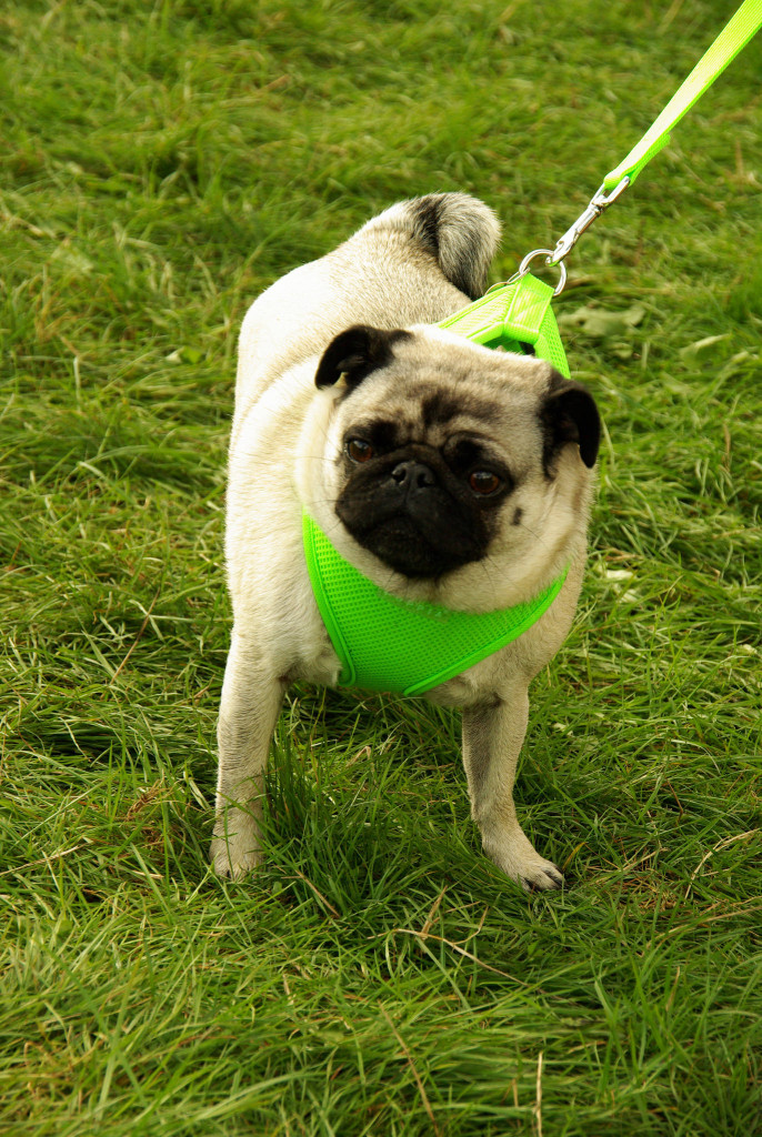 Cute pug out for a walk