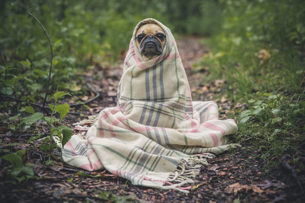 Cute pug wrapped in blanket outside