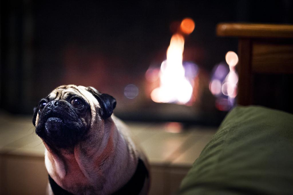Cute_fireside_pug