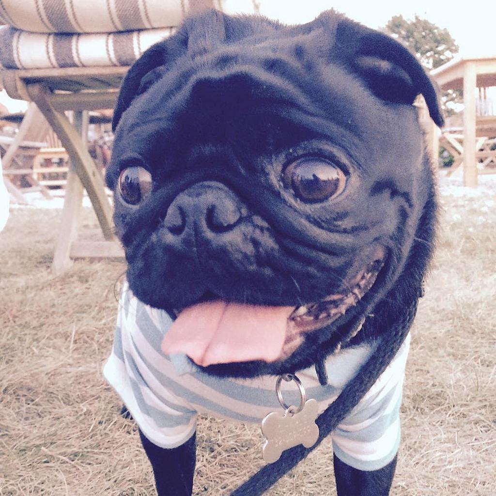 Happy pug selfie