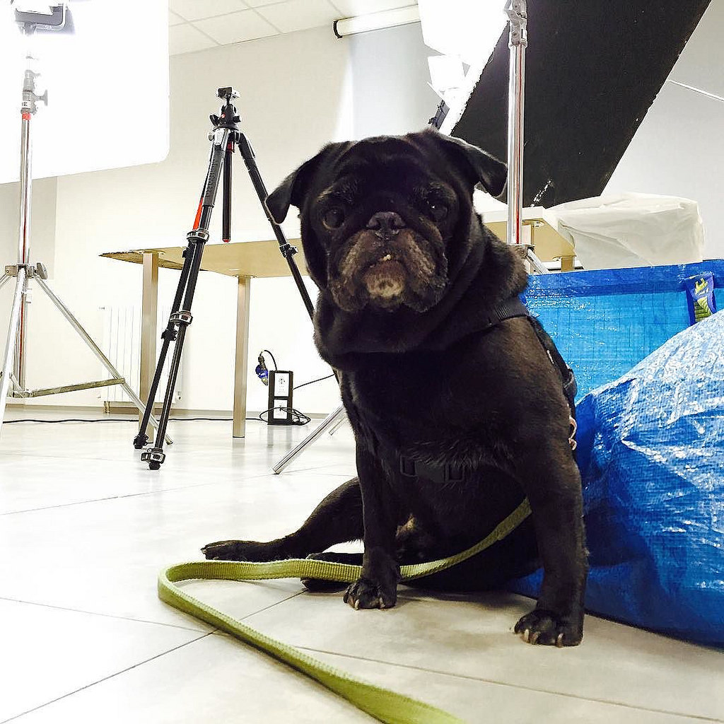 Prepping for a photoshoot pug