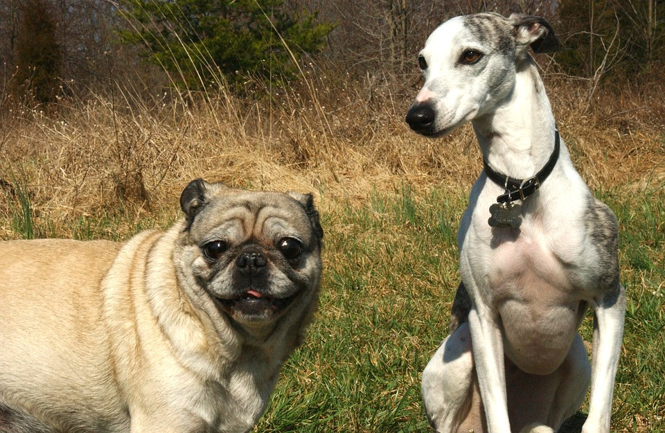 Pug happy to make a new friend
