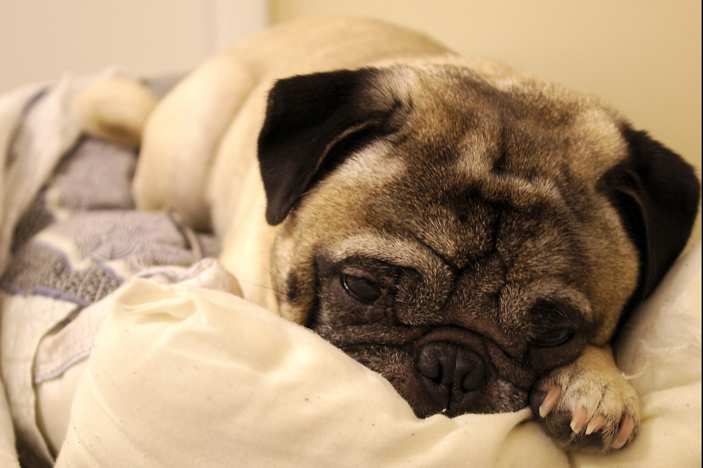 Pug resisting morning