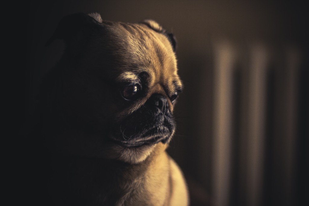Sad pug puppy in the shadows