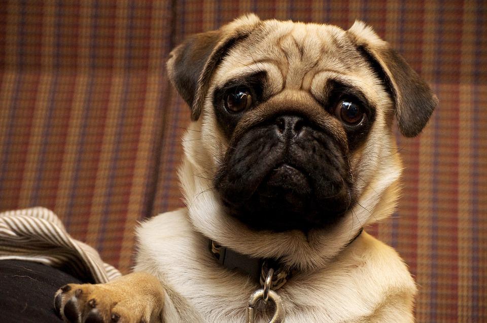 Serious pug face