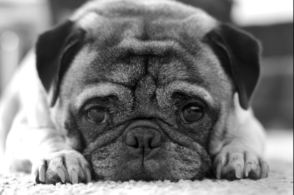 Serious pug is serious