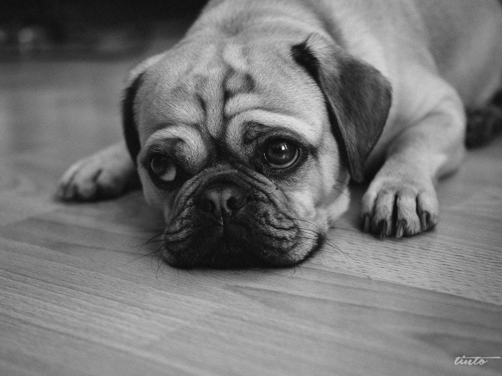 Skeptical_pug_on_floor