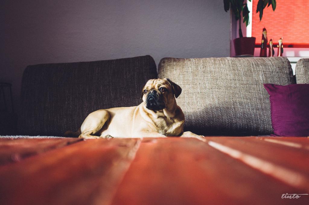 Sofa pug