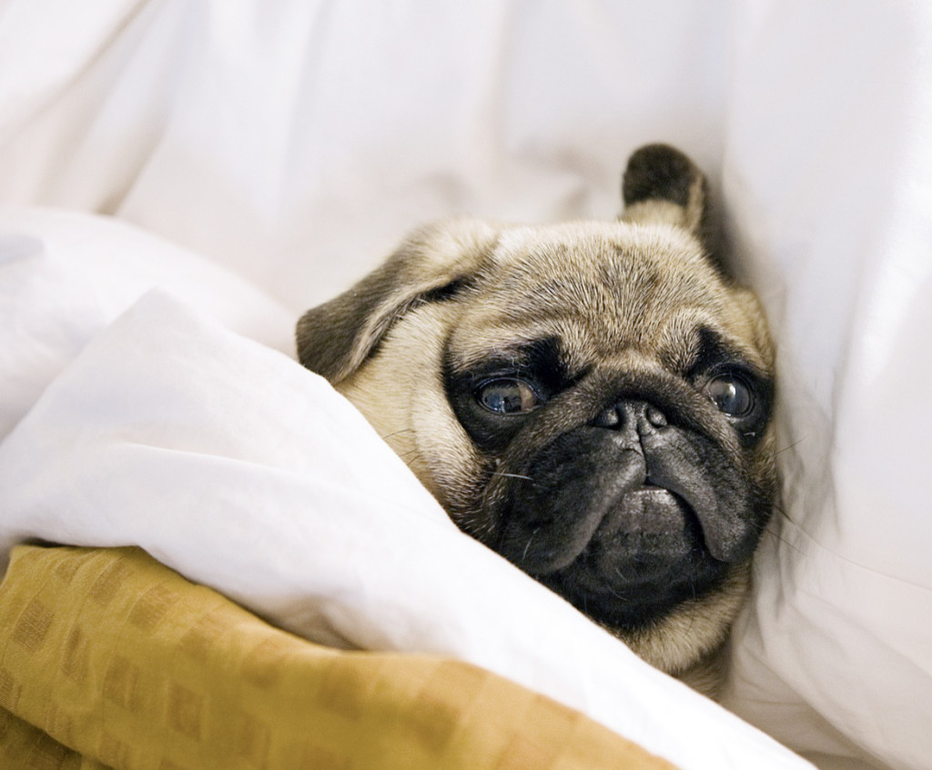Tucked_in_and_ready_to_nap_pug