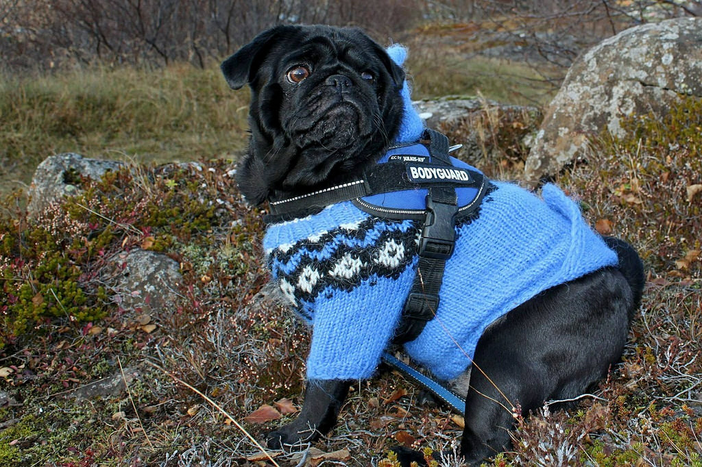 adorable pug in a sweater