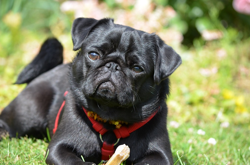 curious pug with toy