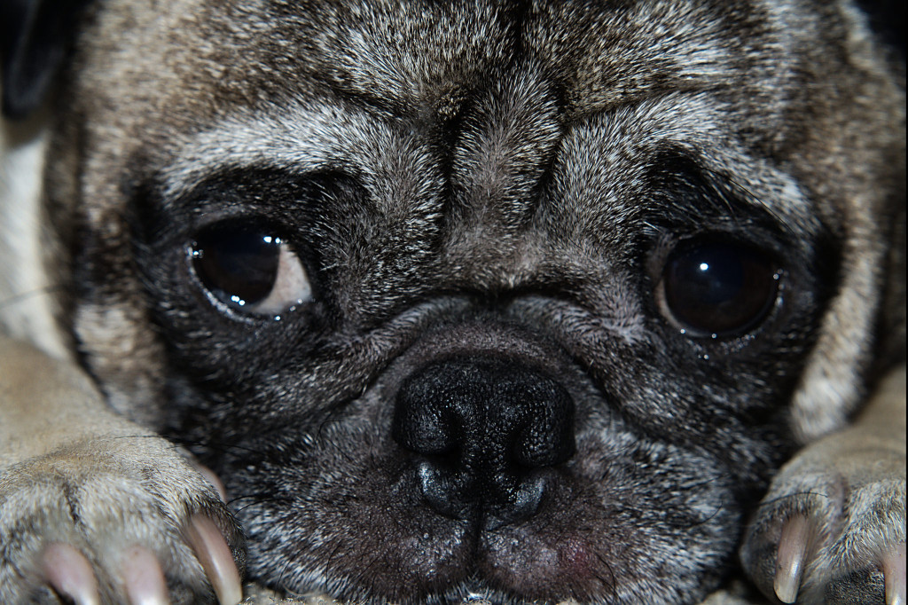 cute pug face close up